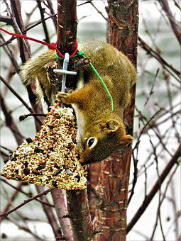 Squirrel, Seeds, Bell, Nature, Wild, Animals, Tree