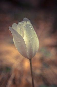 Flower, Light, Tulip, Floral, Spring Flowers, Nature