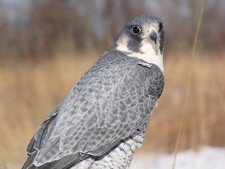 Peregrine Falcon, Bird, Peregrine, Falcon, Wildlife