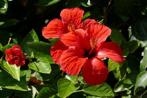 Hibiscus, Flower, Plant, Flora, Red, Pestle