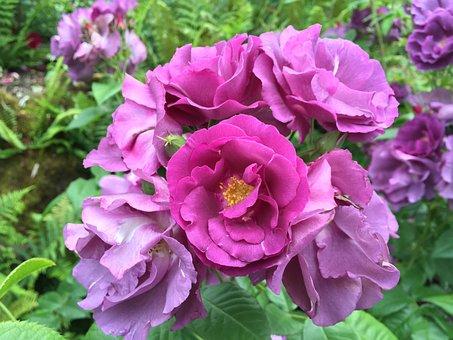 Rose, Portland, Garden, Flowers, Horticulture, Spring