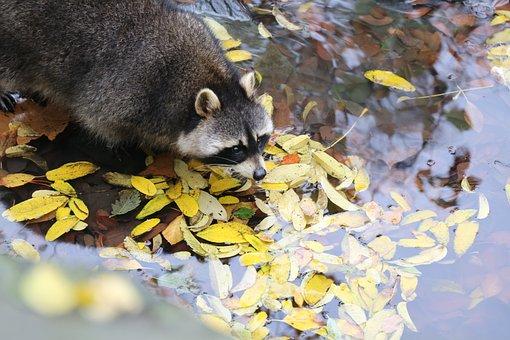 Racoon, Zoo, Cute, Nature, Wild, Mammal, Wildlife