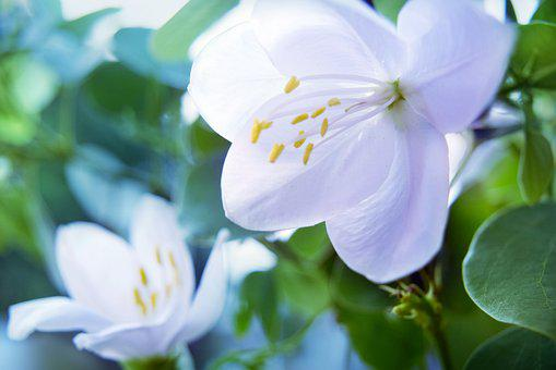 Jasmin, White, Flower, Petals, Style, Stigma, Anthers