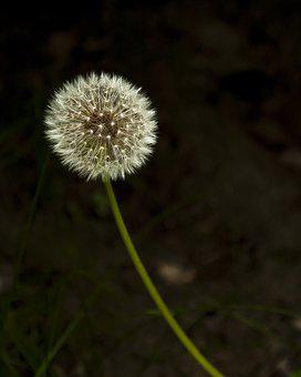 Seeds, Dandelion, Flower, Weeds