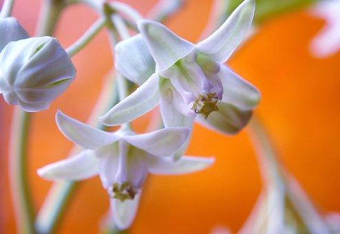 White Crown Flower, Nature, Petals, Macro