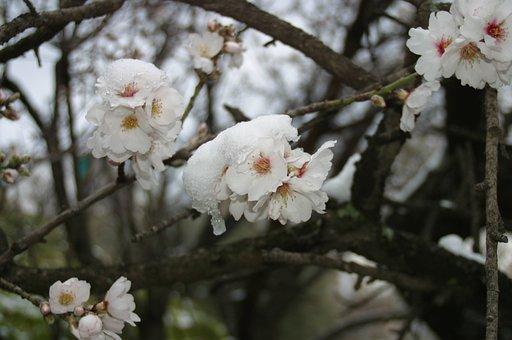 Almond Tree, Flower, Snow, White, Almond Tree Nature