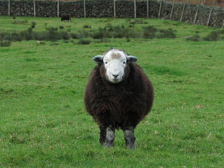 Herdwick, Sheep, Animal, Farm, District, Lake, Wool