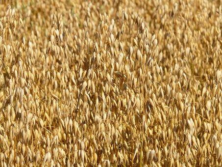 Field, Oats, Oat Field, Arable, Cereals, Grain