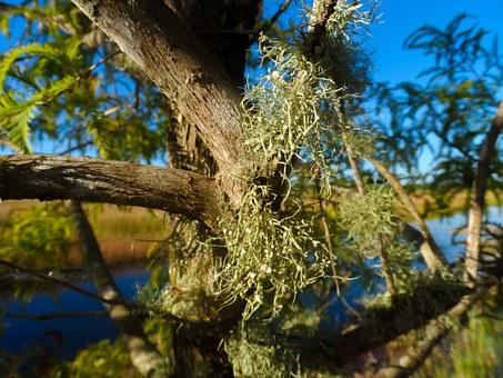 Old Man's Beard, Lichen, Beard Lichen, Tree's Dandruff