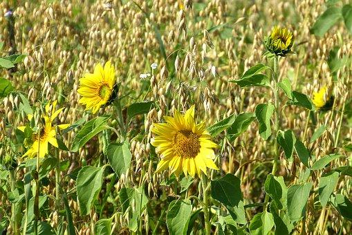 Sun Flower, Yellow, Green, Summer, Oats, Field, Flowers