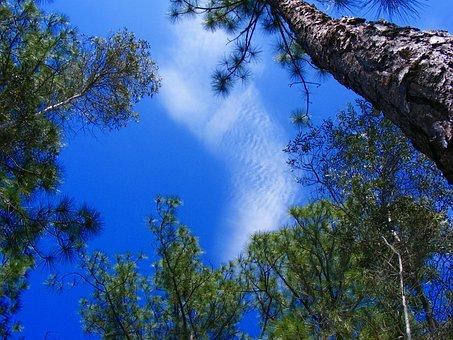 Lehigh Acres, Florida, Pine, Tree, Pine Needles, Nature