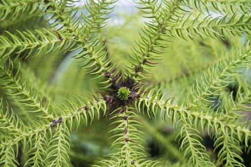 Araucaria, Needle, Close, Macro, Green, Houseplant