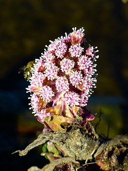 Butterbur, Nature, Plant, Flowers, Common Butterbur