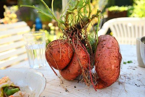 Yam, Harvest, Sweet-potato, Sweetpotatoe, Self Catering