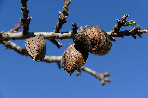 Nut, Almond, Almond Tree, Fruit, Tree Fruit, Branch