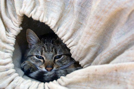 Cat, Feline, Cat Lying, Cat Eyes, Animal, Animals