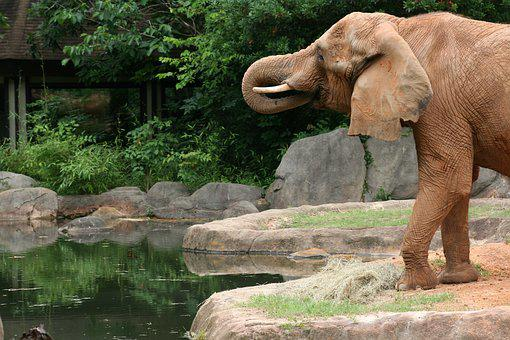 Elephant, Wild, Wildlife, Safari, Animal, Mammal