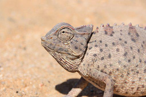 Namibia, Africa, Chameleon, Animal Portrait