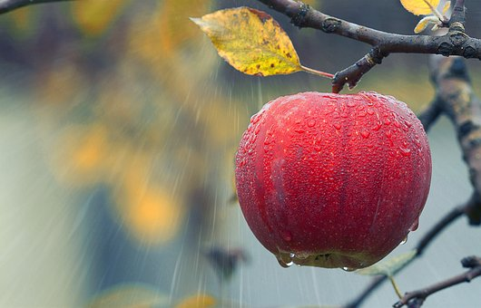 Apple, Fruit, Rain, Agriculture, Branch, Close Up