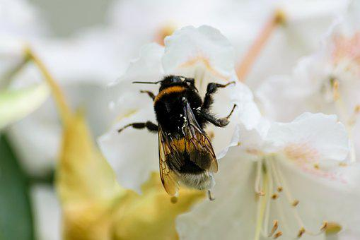 Hummel, Insect, Blossom, Bloom, Flower, Pollination