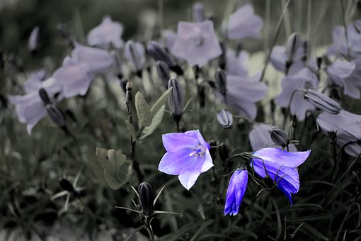 Blue Flower, Nature, Black And White, Flower, Garden