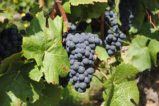 Wine, Wineyard, Burgundy, Vine, Grape, Vineyard, Ripe