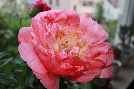 Baby Rose, Flower, Stock Rose