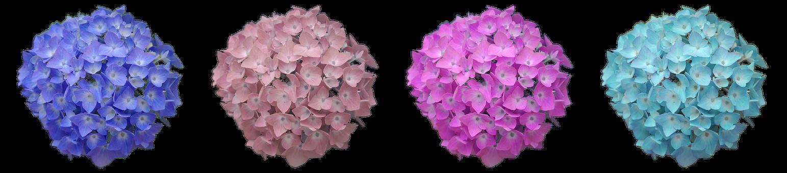 Hydrangea, Flower, Hydrangea Flower, Summer, Blossom