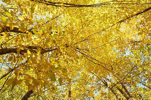 Yellow, Autumn, Leaves, Tree, Branches, High, Live