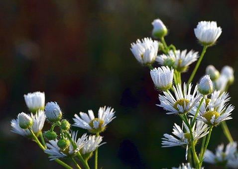 Daisies, Rosa, Flower, White, Tiny, Meadow