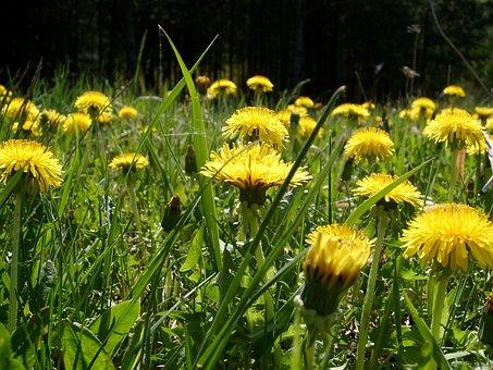 Meadow, Flower, Nature, Spring, Dandelion