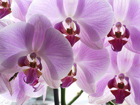 Orchid, Flowers, Panicle, Violet, Potted Plant
