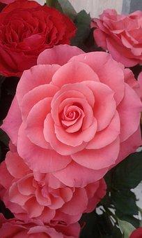 Rose, Pink, Flower, Petal, Nature, Romantic, Valentine