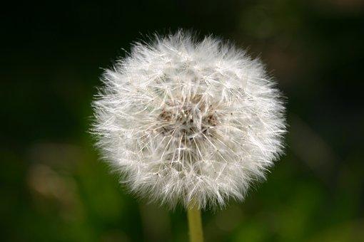 Blossom, Bloom, Seeds, Flying Seeds, Close, Plant