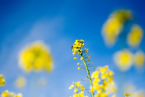 Rapeseed, Plant, Spring, The Cultivation Of, Yellow