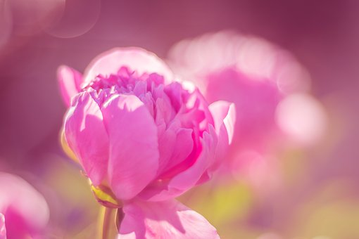 Peony, Public Record, Blossom, Bloom, Flower, Nature