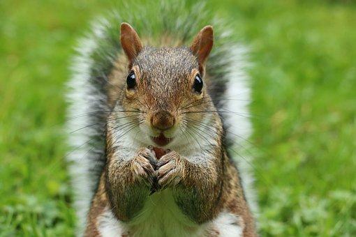 Squirrel, Sciurus Carolinensis, Grey Squirrel, Rodent