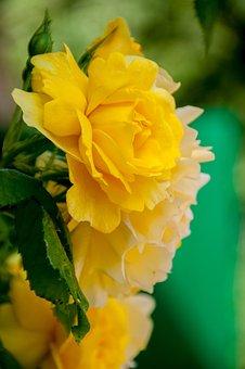 Flower, Rose, Blossom, Bloom, Rose Blooms, Rose Bloom
