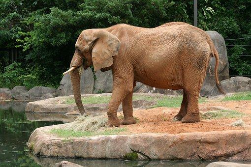 Elephant, Wild, Wildlife, Animal, Safari, African, Zoo