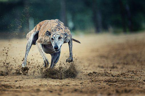 Action, Racecourse, Race, Sport, Career, Dog Track, Dog