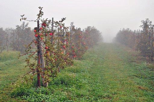Sad, Apples, Fruit, The Fog, The Cultivation Of, Autumn