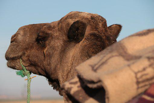 Morocco, Wilderness, Africa, Camel, The Head Of The