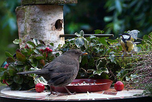 Animal, Bird, Blackbird, Turdus Merola, Tit