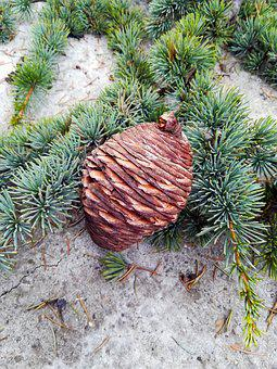 Pine Cone, Pine, Tree, Nature, Forest, Green, Natural