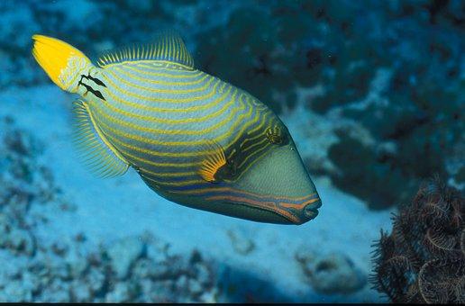Triggerfish, Maldives, Island, Holiday, Atoll