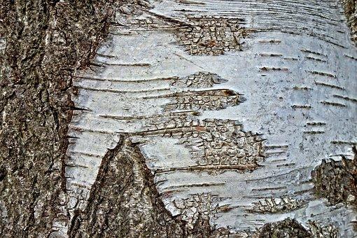 Tree, Birch Tree, Birch, Trunk, Bark, Birch Bark