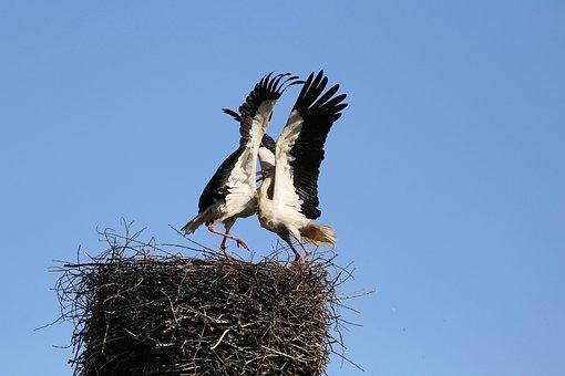 Stork Fighting, Stork, Bird, Animal World, Stork Couple