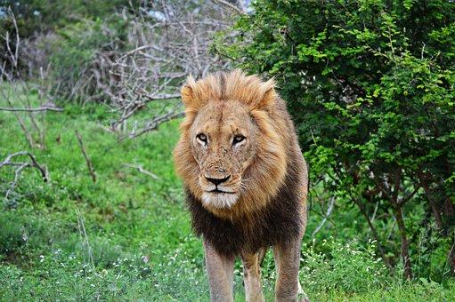 Lion, Wildlife, Nature, Predator, Animals, Kruger Park