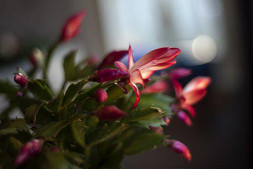 Cactus, Julkaktus, November, Flower, At Home, Green