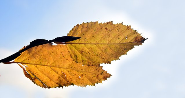 Leaf, Autumn, Fall Foliage, Golden Autumn, Leaves